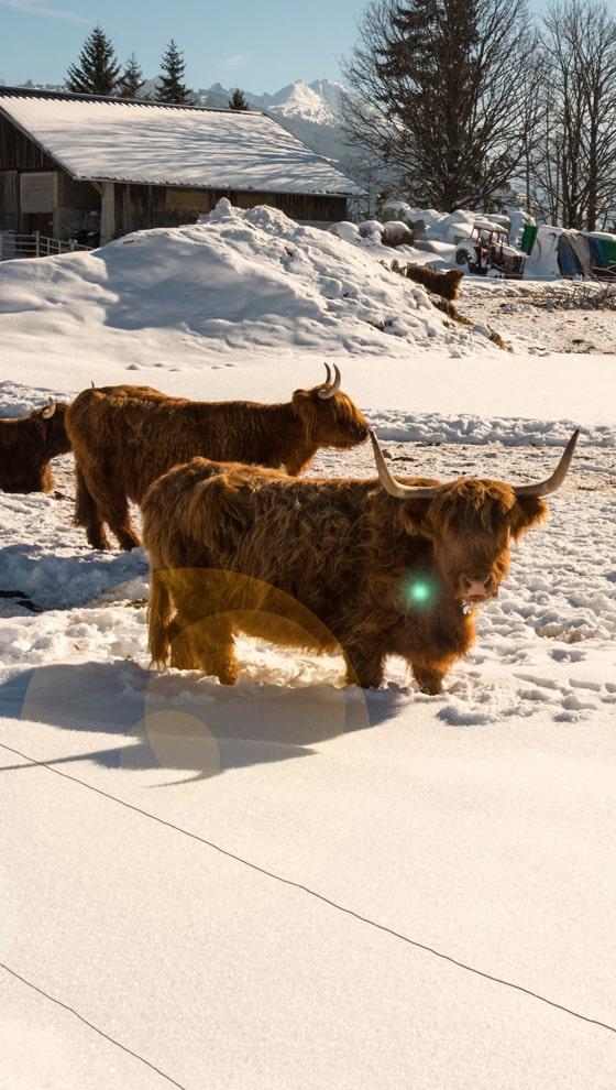 Schottische Hochlandrinder in Ramsau am Dachstein